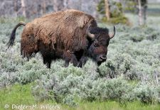 North American Bison - Bison bull in the prairie grass, Yellowstone National Park 1.JPG
