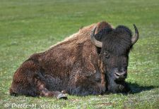 North American Bison - Mighty Bison Bull, Yellowstone National Park.JPG