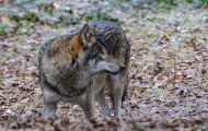 Tiere, Säugetiere - Raubtiere  Timberwolf_Canis lupus lycaon_Eastern Timber Wolf 02.JPG