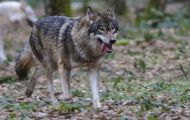 Tiere, Säugetiere - Raubtiere  Timberwolf_Canis lupus lycaon_Eastern Timber Wolf 03.JPG