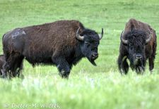 North American Bison - Bison, Custer State Park.JPG