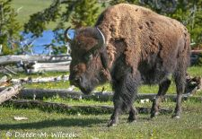 North American Bison - Bison, Yellowstone National Park.JPG