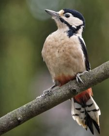 Native Birds of Britain - Great Spotted Woodpecker.JPG