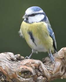 Native Birds of Britain - Blue Tit.JPG