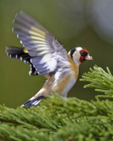 Native Birds of Britain - Goldfinch.JPG