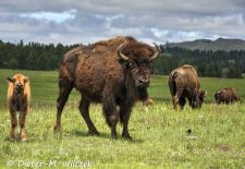 North American Bison - Bison herd with calf, Custer State Park.JPG
