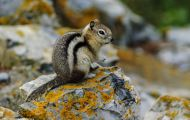 Tiere, Säugetiere - Nagetiere  Goldmantel-Ziesel_Spermophilus lateralis_Golden-mantled Ground Squirrel 01.JPG