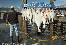 Alaskas Kenai Halbinsel - Catch of the Day Seward Small Boat Harbor.JPG