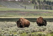 North American Bison - Bison in the prairie grass, Yellowstone National Park.JPG