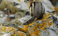 Tiere, Säugetiere - Nagetiere  Goldmantel-Ziesel_Spermophilus lateralis_Golden-mantled Ground Squirrel 07.JPG