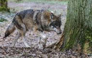 Tiere, Säugetiere - Raubtiere  Timberwolf_Canis lupus lycaon_Eastern Timber Wolf 01.JPG