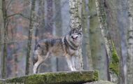 Tiere, Säugetiere - Raubtiere  Timberwolf_Canis lupus lycaon_Eastern Timber Wolf 06.JPG