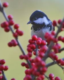 Native Birds of Britain - Coal Tit.JPG