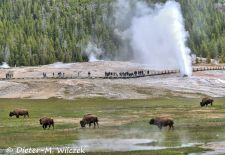 North American Bison - Bison herd with Geysir, Yellowstone National Park.JPG