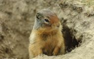 Tiere, Säugetiere - Nagetiere  Kolumbiaziesel_Spermophilus columbianus_Columbian Ground Squirrel 03.JPG