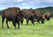 North American Bison - Bison bull in the prairie grass, Yellowstone National Park.JPG