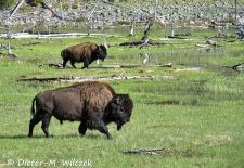 North American Bison - Wandering Bison, Yellowstone National Park.JPG
