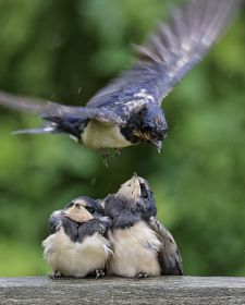 Native Birds of Britain - Swallow.JPG