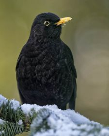 Native Birds of Britain - Blackbird.JPG