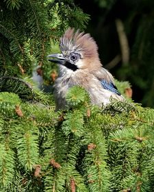 Native Birds of Britain - Jay.JPG