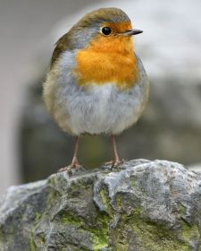 Native Birds of Britain - Robin.JPG