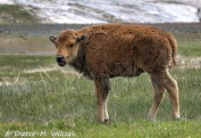 North American Bison - Bison calf, Custer State Park.JPG
