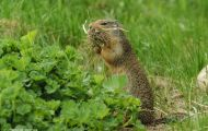 Tiere, Säugetiere - Nagetiere  Kolumbiaziesel_Spermophilus columbianus_Columbian Ground Squirrel 02.JPG