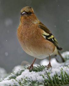 Native Birds of Britain - Chaffinch.JPG