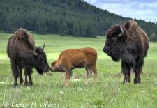 North American Bison - Bison with calf, Custer State Park.JPG